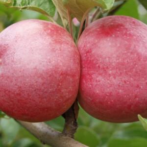 Gondoltad volna? Így jut el az alma az asztalodig - A gyümölcs útja 5 lépésben