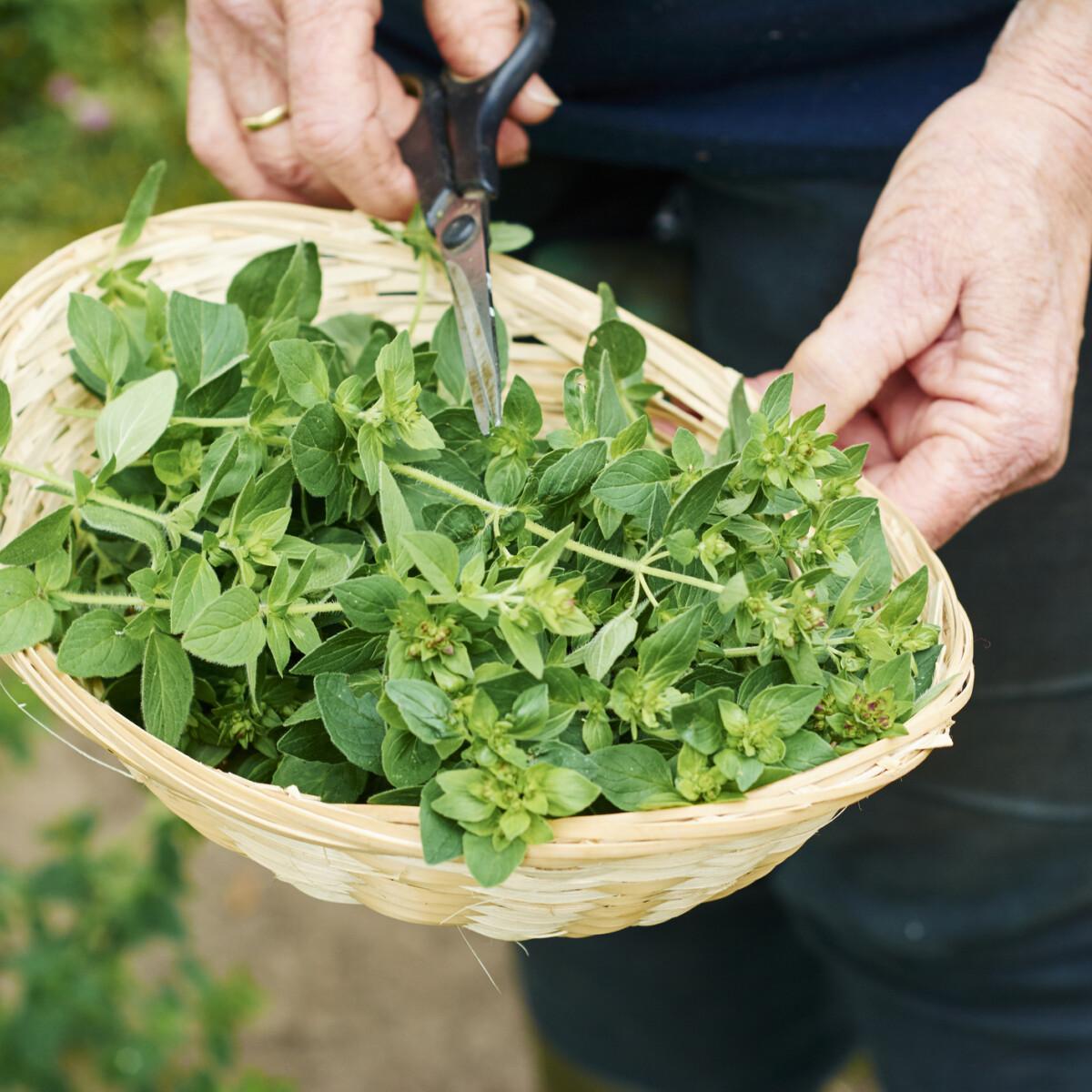 Így neveld az oregánód: minden, amit tudnod kell a termesztéstől a szüretelésig