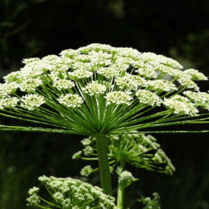 Égési sérüléseket és akár vakságot is okozhat ez a növény - vigyázzatok vele!
