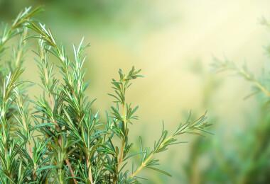 Van egy imádott fűszernövény, amit szaglászva 75%-kal javul a memóriánk
