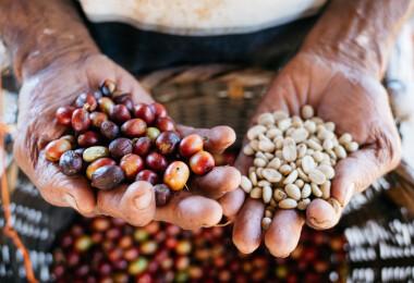 Találtak egy kávéfajt, amely megmentheti a kávézás jövőjét
