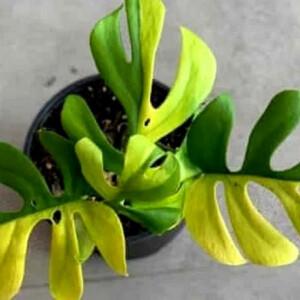 Sose találjátok ki, mennyiért vették meg ezt a 4 levelű, mini szobanövényt