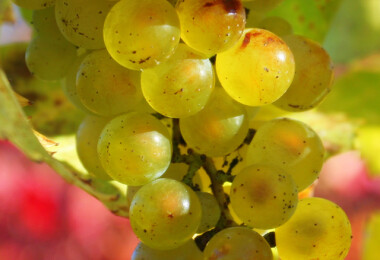 Ropogós szőlőből könnyű bor