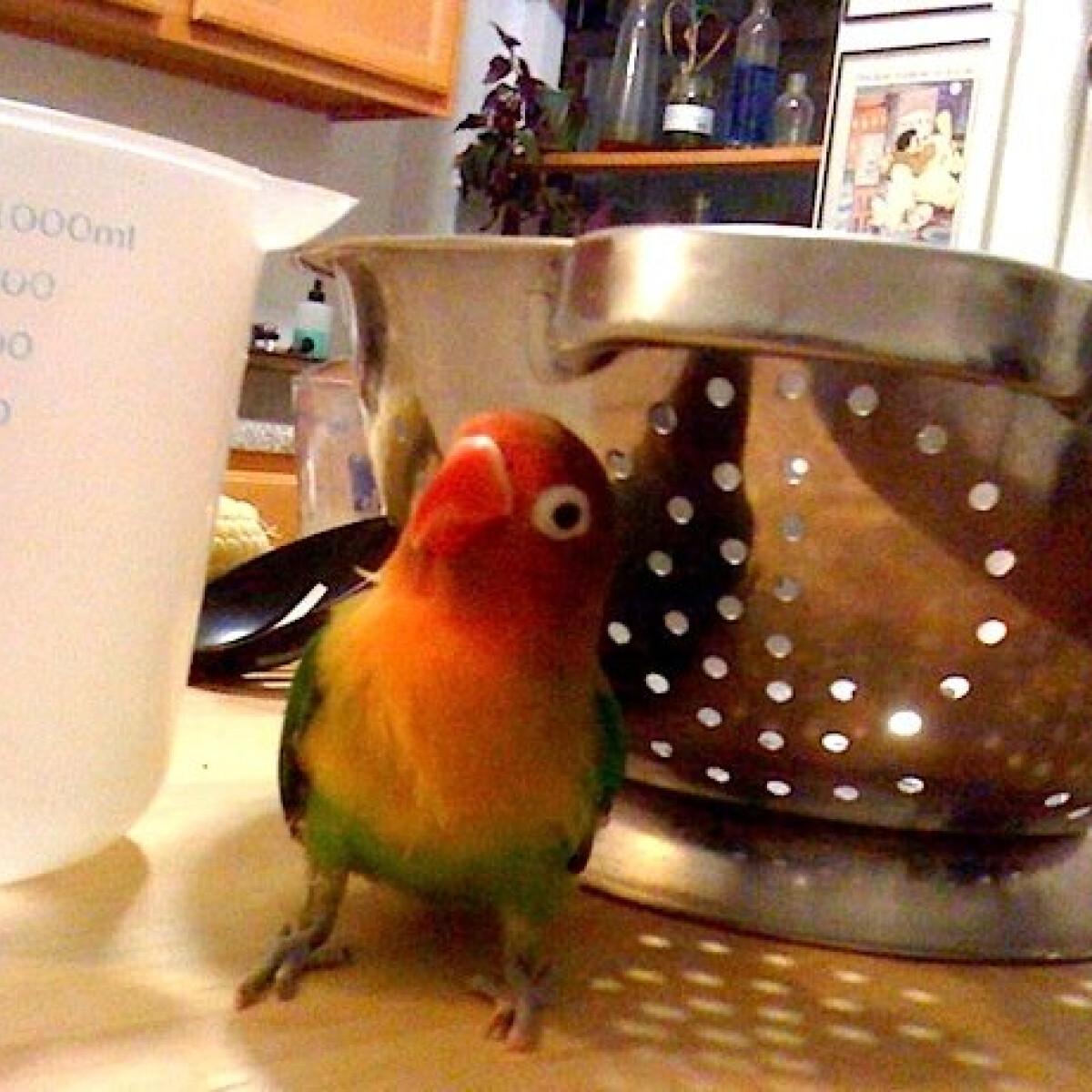 Ne tarts papagájt a konyhában, veszélyes!