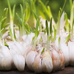 Elmondjuk, miért ne vágd le a fokhagymából kinövő kis zöld rügyet