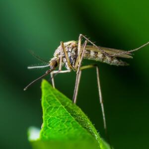 8 növény, amivel távol tarthatod a szúnyogokat