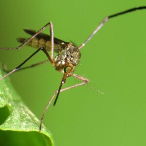 Zika-vírus: rémhírek és a valóság
