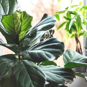 5 nagyméretű növény, ami beltéren is csodásan érzi magát