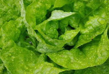 Fejjel a salátának