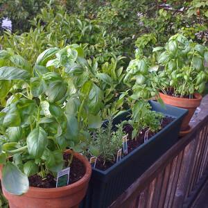 6 fűszernövény a párkányodra