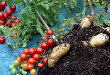 Látni kell, hogy néz ki a növény, amin egyszerre terem a krumpli és a paradicsom