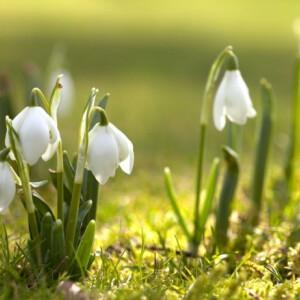 3 okos tipp, hogy hóvirágba boruljon a kerted