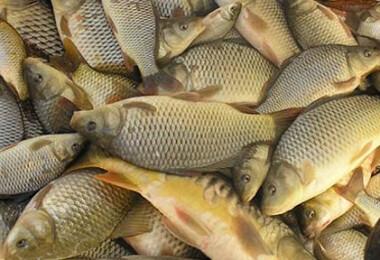 édesvizi hal
